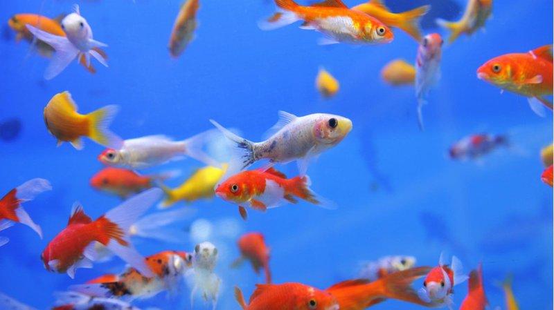 memilih jenis ikan