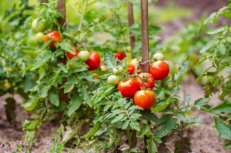 menanam tomat.jpg