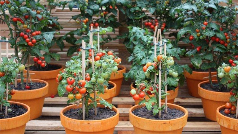 menanam tomat di pot.jpg