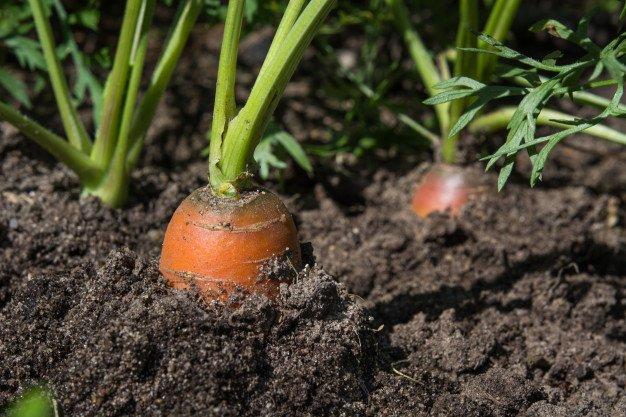 menanam wortel di polybag.jpg