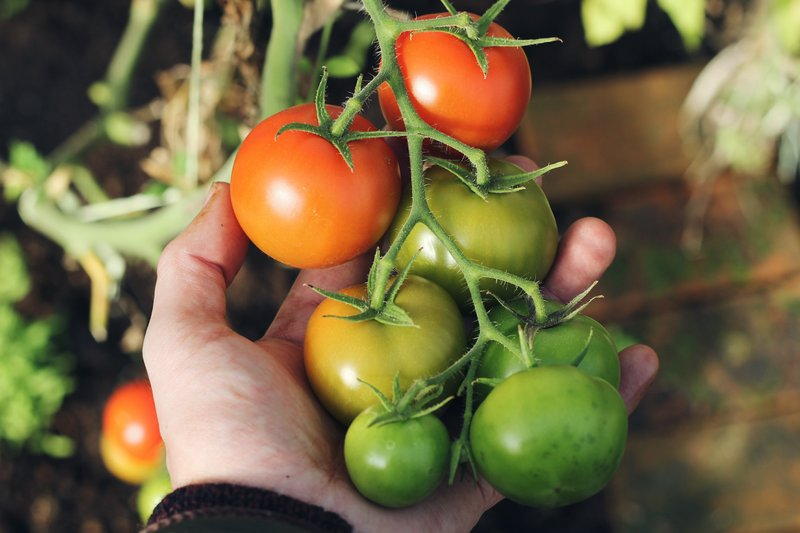 tomat menjadi sayuran yang wajib dikonsumsi saat menjalani program hamil