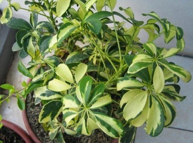 mitos tanaman walisongo 2.jpg