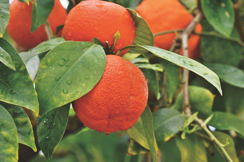 menanam bibit jeruk