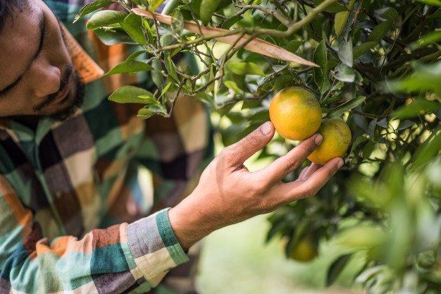 cara memanen jeruk