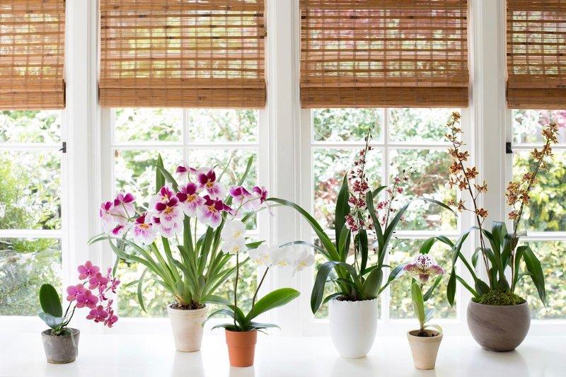 orchid mimi giboin 176