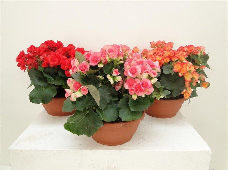 pagano piante fiorite begonia ciotola mix 21032013103621
