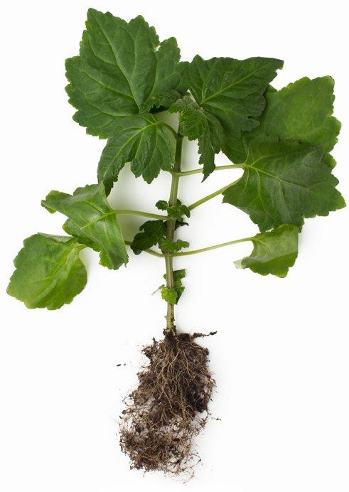 cara menanam tanaman nilam di kebun dan pot.jpg