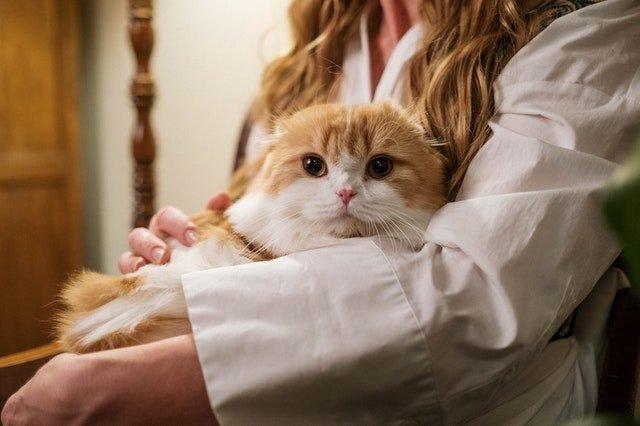 kucing orange mudah gemuk