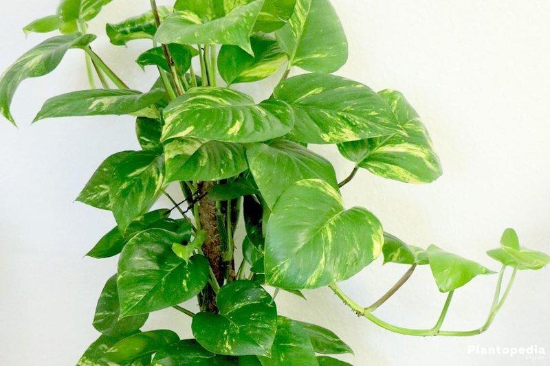 philodendron tanaman yang dihindari