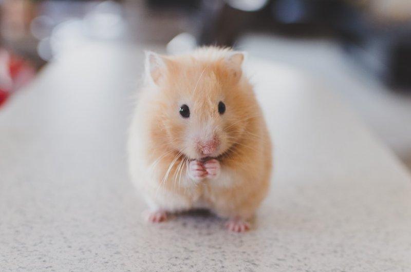 Bersihkan kandang hamster teratur