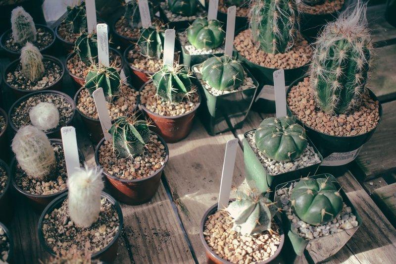Identifikasi kaktus