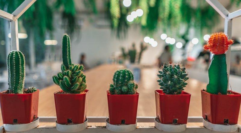 Berikan kaktus pot yang pas