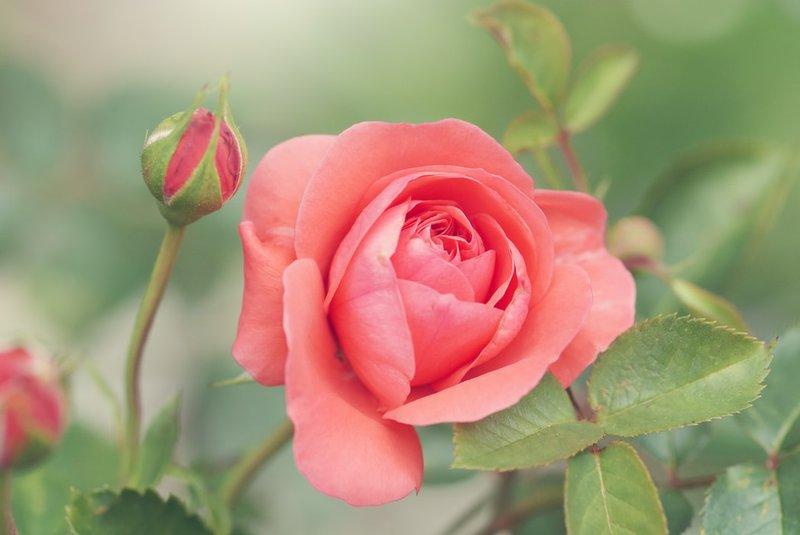 Sinar matahari cukup untuk bunga mawar