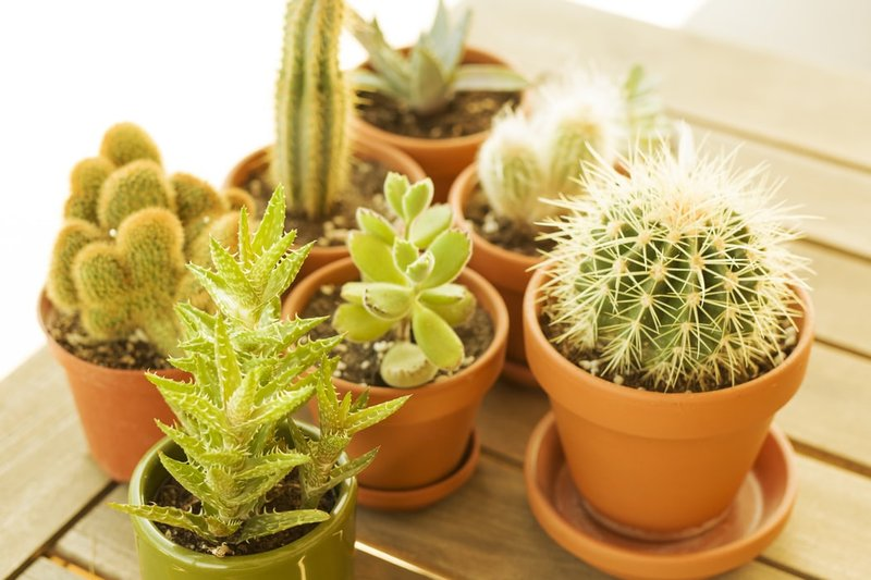 Kaktus butuh sinar matahari