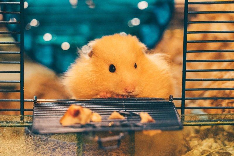 Siapkan kandang hamster
