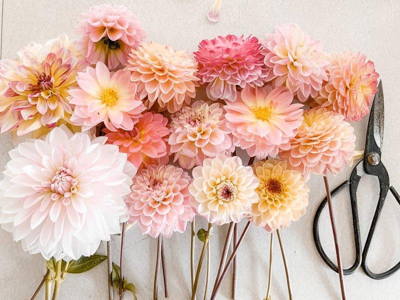 Bunga dahlia memiliki manfaat medis