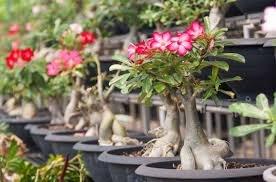bunga adenium