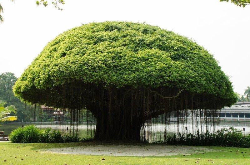 pohon beringin.jpg