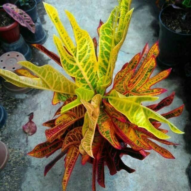 tanaman puring jet