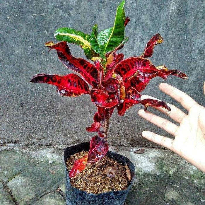 tanaman puring kirana