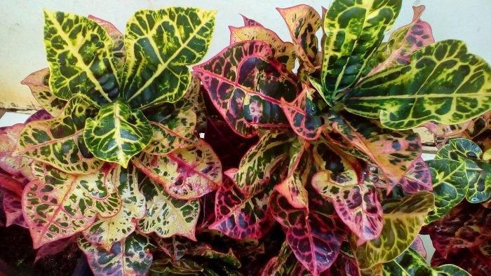 tanaman puring kura