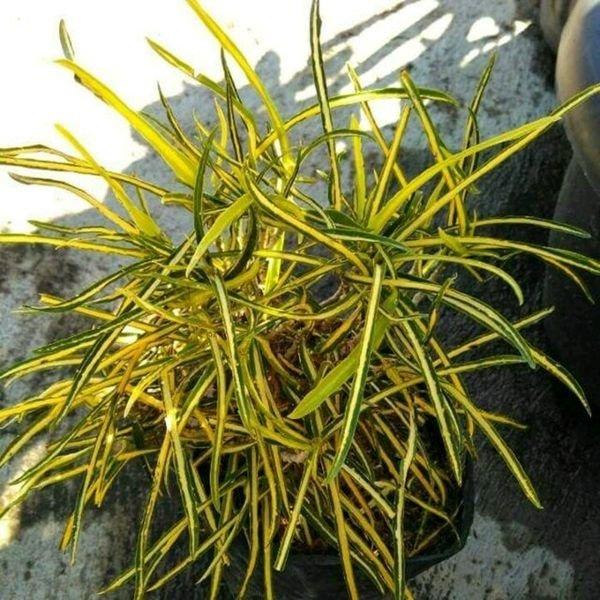 tanaman puring teri