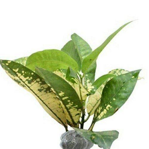 tanaman puring tissue