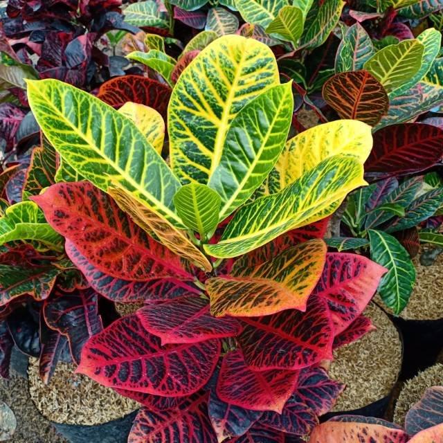 tanaman puring worten