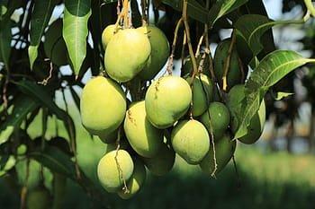 Kelebihan dan Kekurangan dari Mencangkok Pohon Mangga