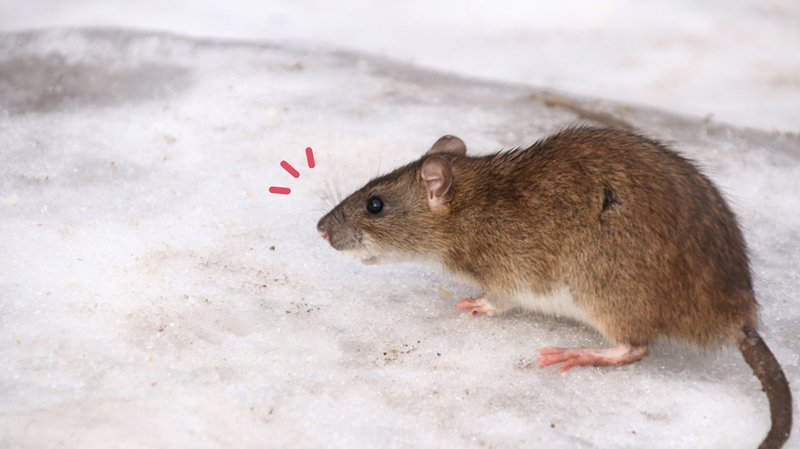 Cara Menghilangkan Bau Bangkai Tikus