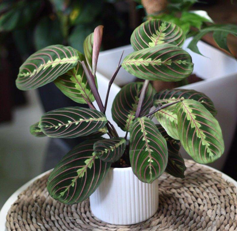 restocked potted maranta leuconeura erythroneura prayer plant herringbone plant 1505559532 a944e679