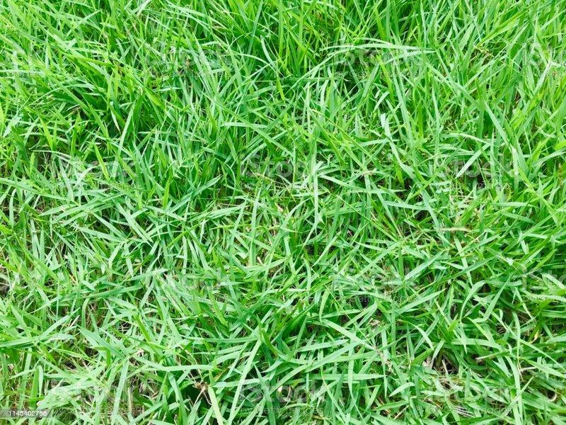 rumput manila.jpg
