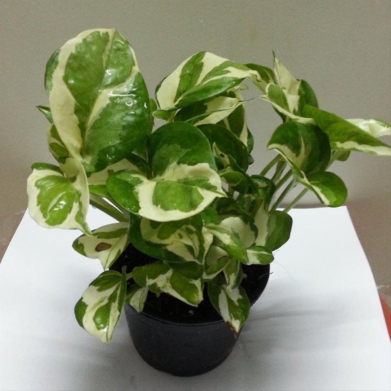 tanaman hias yang mudah dirawat