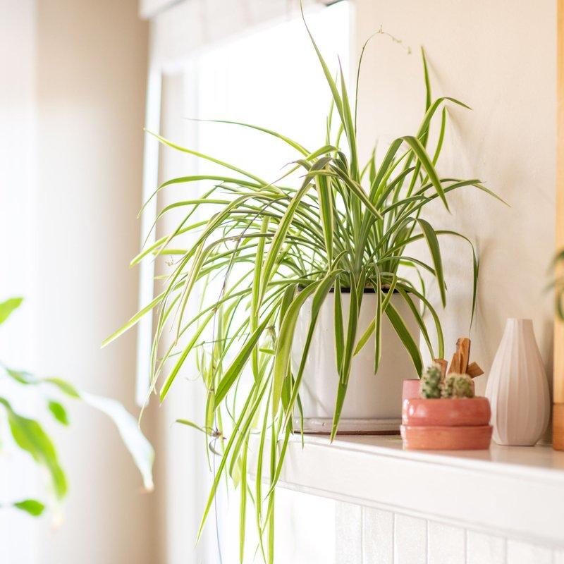 spider-plants-indoor.jpg