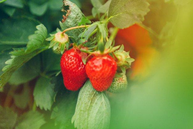 Cara Menanam Strawberry dari Biji