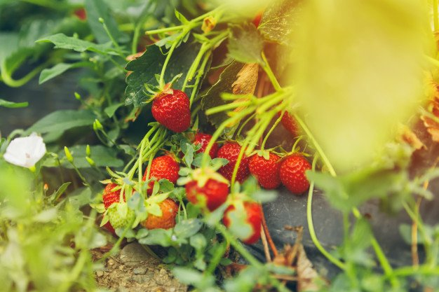 Pedoman Umum Perawatan Tanaman Strawberry
