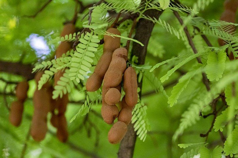 tamarind tree - pohon asam jawa.jpg