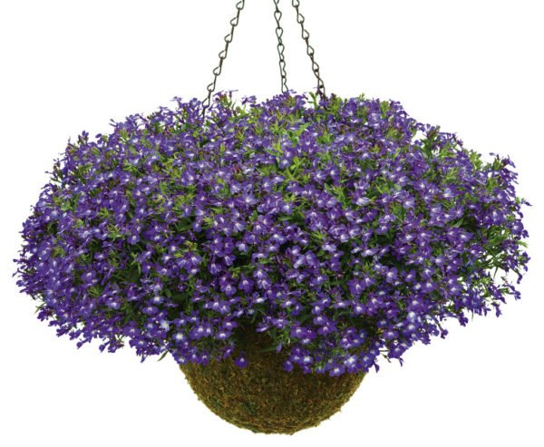 tanaman gantung, tanaman gantung untuk menghias rumah