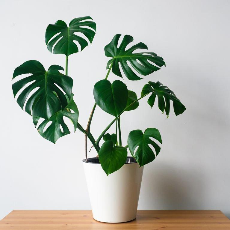 tanaman hias untuk kamar