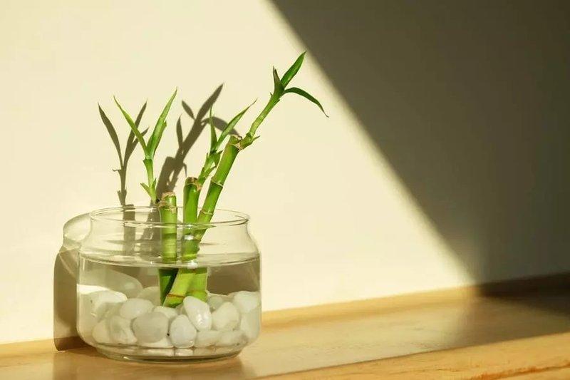tanaman bambu air.jpg