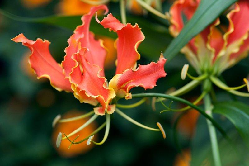 tanaman hias bunga 1.jpg
