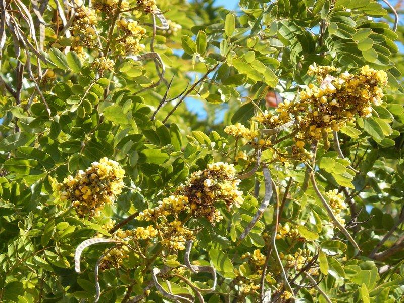 manfaat daun johar - antibakteri