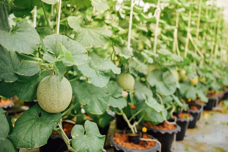 tanaman melon.jpg