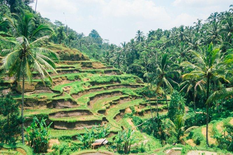 Tegalalang Rice Terrace.jpg