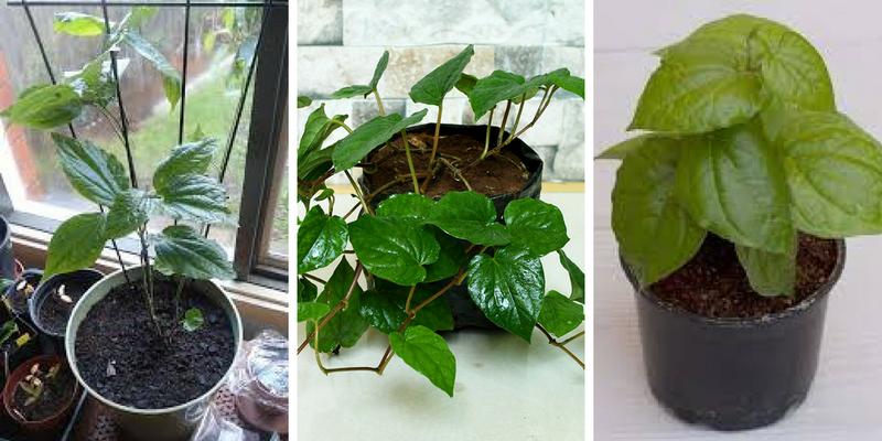 tips-menanam-daun-sirih.png