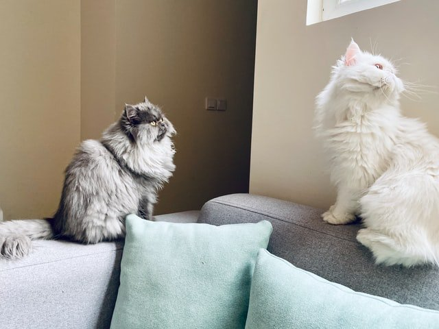 Merawat kucing persia perlu perhatian khusus