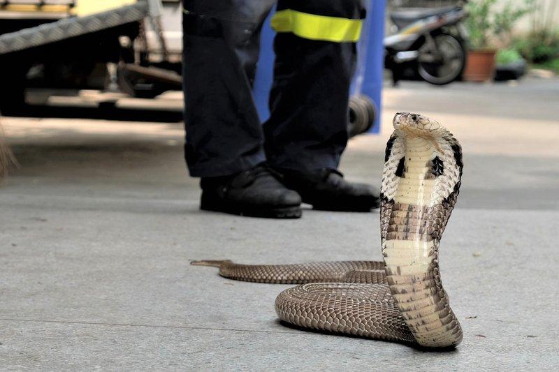 ular kobra masuk ke rumah-1.jpg