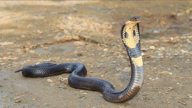ular kobra masuk ke rumah-2.jpg