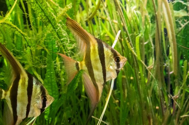 Pilih ikan akuarium yang kuat