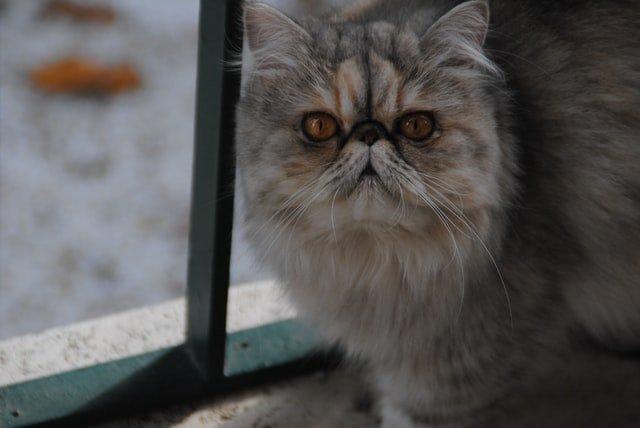 Ciri fisik kucing persia